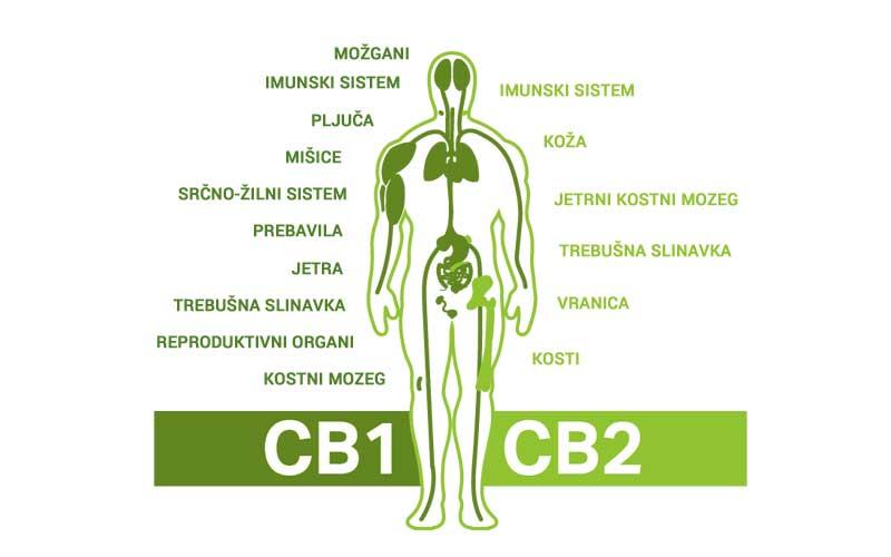 endokanabinoidni sistem